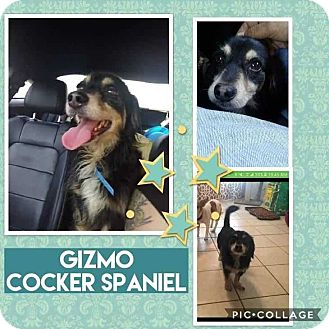 Cocker Spaniel Mix Dog for adoption in Mesa, Arizona - GIZMO