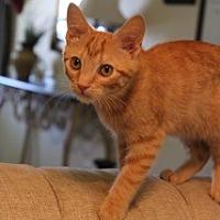 Adopt A Pet :: Boy George - Homewood, AL
