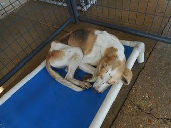 Beagle/Labrador Retriever Mix Dog for adoption in Opelousas, Louisiana - BEBE