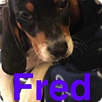 Adopt A Pet :: Fred - Foristell, MO
