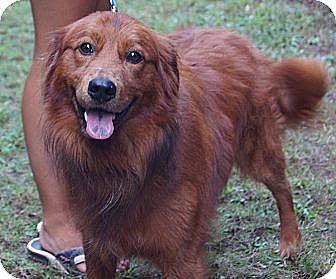 Golden Retriever Mix Dog for adoption in West Nyack, New York - Clifford the Big Red Dog