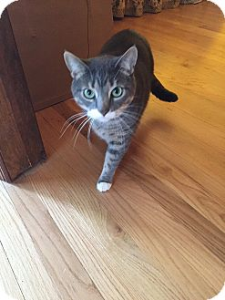 American Shorthair Cat for adoption in Staten Island, New York - George
