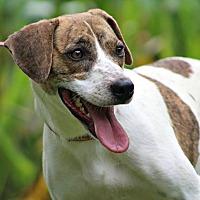 Adopt A Pet :: Shasta - Pawling, NY
