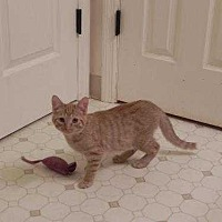Domestic Shorthair Cat for adoption in Fayetteville, Tennessee - Casey