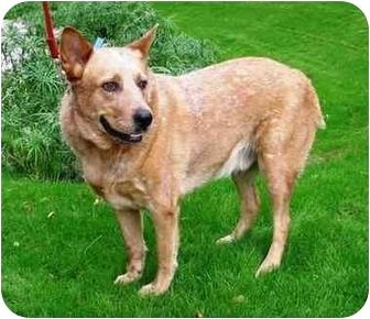 Australian Cattle Dog Mix Dog for adoption in Phoenix, Arizona - Dundee
