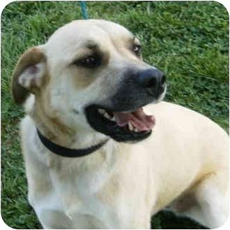 Labrador Retriever/Anatolian Shepherd Mix Dog for adoption in kennebunkport, Maine - Lucy - Pending!