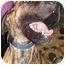 Photo 2 - Great Dane Dog for adoption in Lewiston, Maine - Moe