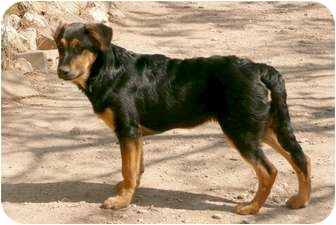 German Shepherd Dog Mix Puppy for adoption in Dripping Springs, Texas - Hope