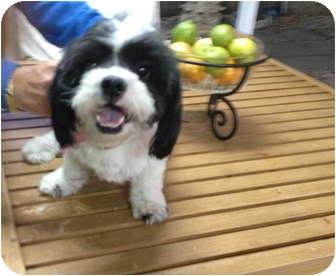 Shih Tzu Mix Dog for adoption in Miami, Florida - Sherri
