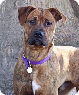 Pit Bull Terrier Mix Dog for adoption in Santa Barbara, California - Bruno