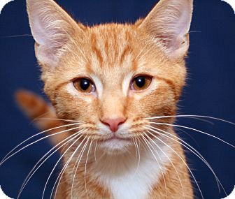 Domestic Shorthair Kitten for adoption in Royal Oak, Michigan - PUMPKIN
