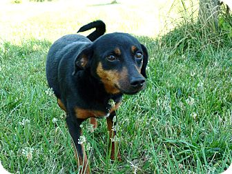 Terrier (Unknown Type, Small) Mix Dog for adoption in Waynetown, Indiana - Kylie