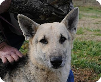 German Shepherd Dog Dog for adoption in Greeneville, Tennessee - Hogan