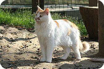 Domestic Mediumhair Cat for adoption in Columbia, Maryland - Jonesy