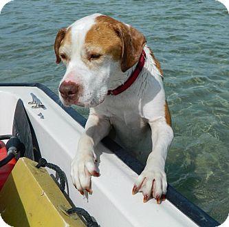 Hound (Unknown Type)/Terrier (Unknown Type, Medium) Mix Dog for adoption in Holmes Beach, Florida - Milton