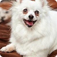 Adopt A Pet :: Nina - Loveland, CO