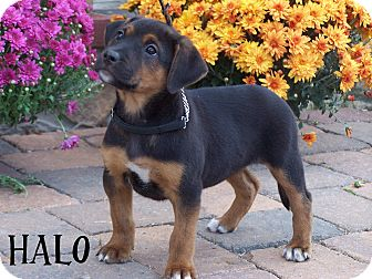 Shepherd (Unknown Type)/Labrador Retriever Mix Puppy for adoption in Milford, New Jersey - Halo