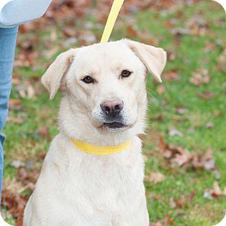 Labrador Retriever Mix Dog for adoption in New Martinsville, West Virginia - Dooley