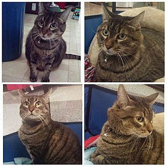 Domestic Shorthair Cat for adoption in Monrovia, California - Baby