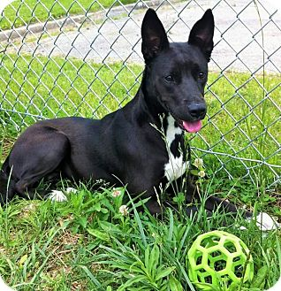 Shepherd (Unknown Type) Mix Dog for adoption in Flint, Michigan - Sable - Adopted