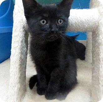 Domestic Shorthair Kitten for adoption in Janesville, Wisconsin - Bambi