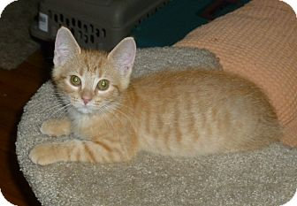Domestic Shorthair Kitten for adoption in Royal Oak, Michigan - Dodger