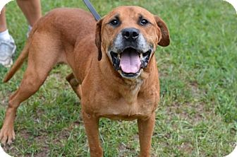 Bullmastiff/Bloodhound Mix Dog for adoption in Boston, Massachusetts - Neville