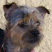 Yorkie, Yorkshire Terrier Mix Dog for adoption in Palmdale, California - Storm