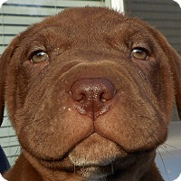 Adopt A Pet :: Baby Heath Bar - Oakley, CA