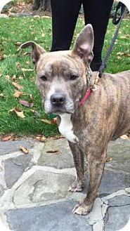 Pit Bull Terrier Mix Dog for adoption in Ardsley, New York - Sascha