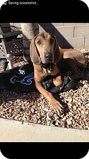 Coonhound Mix Dog for adoption in Mesa, Arizona - Duke