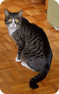 Domestic Shorthair Cat for adoption in Montreal, Quebec - Pattes Blanche