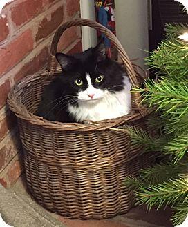 Domestic Longhair Cat for adoption in Carlisle, Pennsylvania - BalooCP