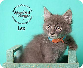 Domestic Shorthair Kitten for adoption in Friendswood, Texas - Leo
