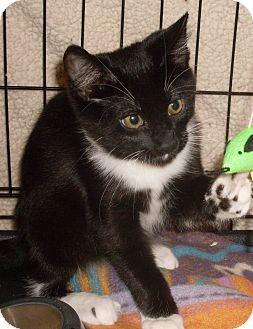 Domestic Shorthair Kitten for adoption in Buhl, Idaho - Domino