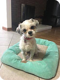 Shih Tzu/Maltese Mix Dog for adoption in Troy, Michigan - Clarence