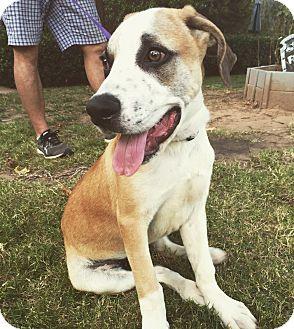Great Dane/Labrador Retriever Mix Puppy for adoption in oklahoma city, Oklahoma - Hoss