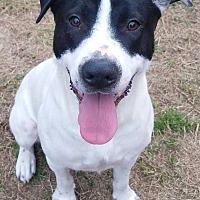 Adopt A Pet :: Snowbell - Woodstock, GA