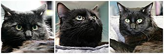 Domestic Longhair Cat for adoption in Forked River, New Jersey - Midnight