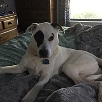Adopt A Pet :: ZILLA - BROOKSVILLE, FL