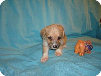 Poodle (Miniature) Mix Puppy for adoption in Pipe Creed, Texas - Manu