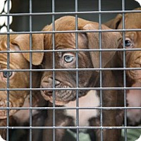 Adopt A Pet :: PUPPIES!!!!!! - Kansas City, MO