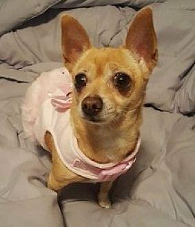 Chihuahua Mix Dog for adoption in Mesa, Arizona - Camilla