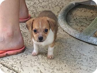 Terrier (Unknown Type, Medium) Mix Puppy for adoption in Spring, Texas - Finn