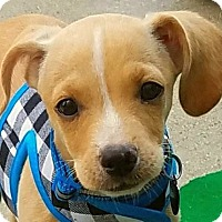 Chihuahua Mix Puppy for adoption in San Diego, California - Duke