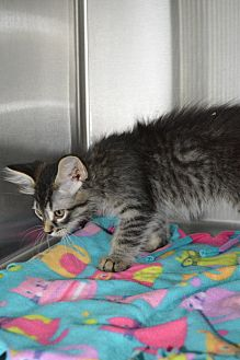 Domestic Mediumhair Kitten for adoption in Pueblo West, Colorado - Becca