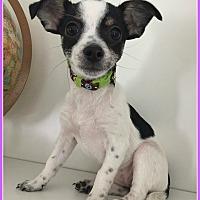 Adopt A Pet :: Angel - Elburn, IL