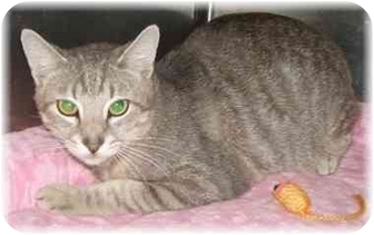 Domestic Shorthair Cat for adoption in Naples, Florida - Dominic