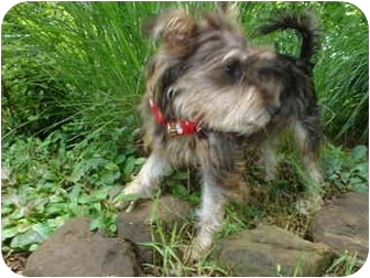 Yorkie, Yorkshire Terrier Mix Puppy for adoption in Choctaw, Oklahoma - Bo