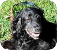 Springer Spaniel Mix Dog for adoption in Blacksburg, Virginia - Bertie